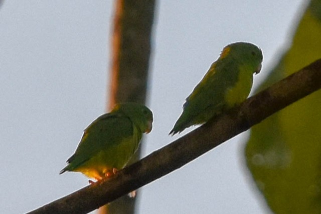 ©Ted Kavanagh - Riparian Parrotlet
