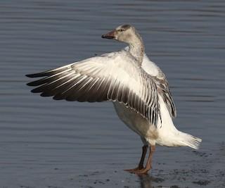 Snow Goose, ML195928671