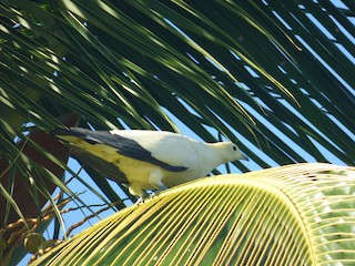 Pied Imperial-Pigeon