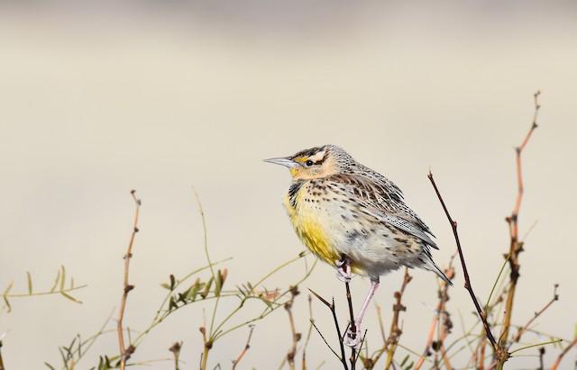 Eastern Meadowlark (Lilian's)