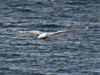 Mute Swan, ML196445441