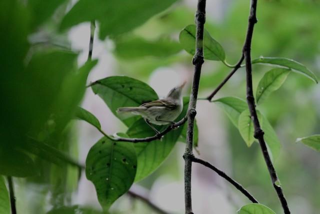 Island Leaf Warbler (Kai)