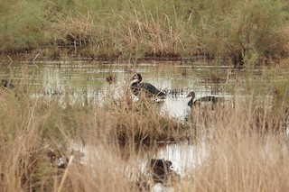 Spur-winged Goose, ML196940271