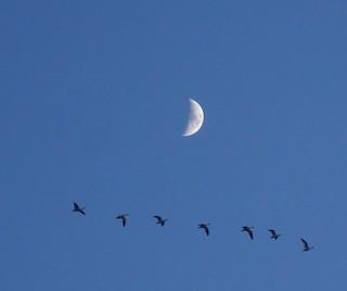 Snow Goose, ML197029081