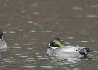Falcated Duck, ML197359281