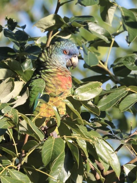 ©Oscar Wilhelmy - St. Lucia Parrot