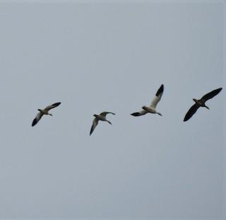 Ross's Goose, ML197637191