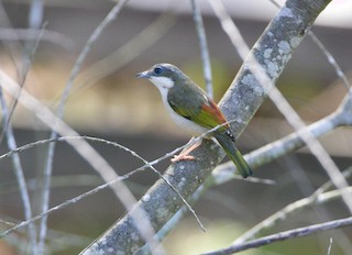 Dalat Shrike-Babbler