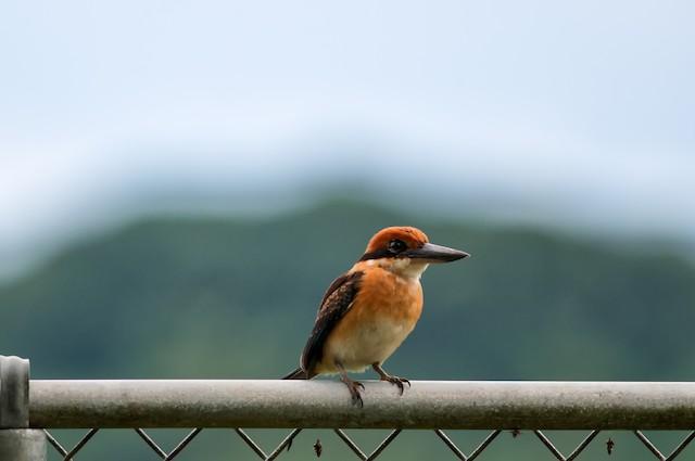 Pohnpei Kingfisher