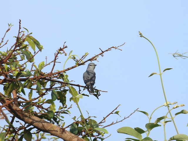 Ashy Flycatcher (presumed subspecies <em>cinereola</em>).