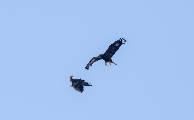 Two Golden Eagles interacting.