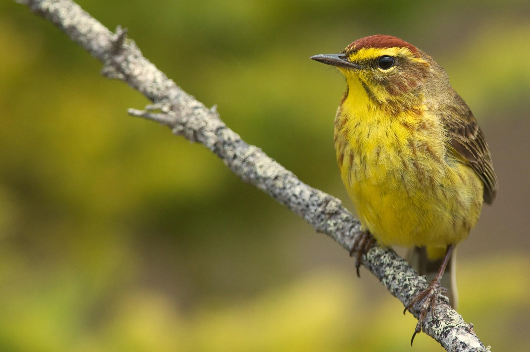 Palm Warbler (Yellow) - Amanda Guercio