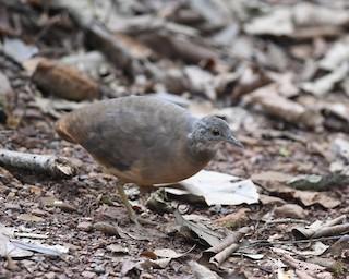 Little Tinamou, ML198889451