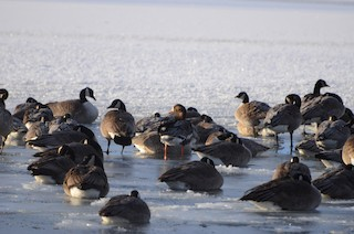 Greater White-fronted Goose, ML198914861