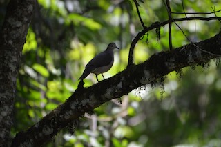Large-tailed Dove