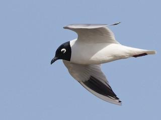 - Saunders's Gull