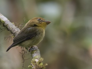- Yellow-throated Spadebill