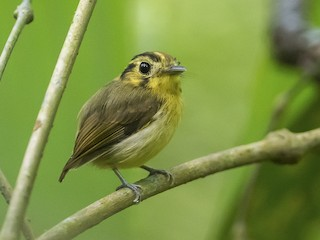 - Golden-crowned Spadebill