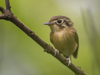 - White-throated Spadebill