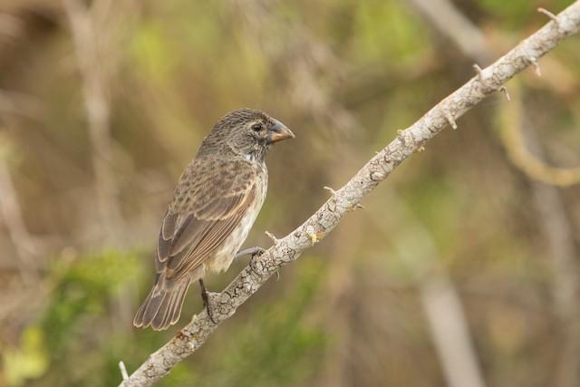 Medium Ground-Finch