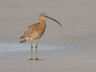 - Eurasian Curlew