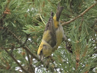 - Scottish Crossbill