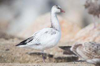 Ross's Goose, ML199647681