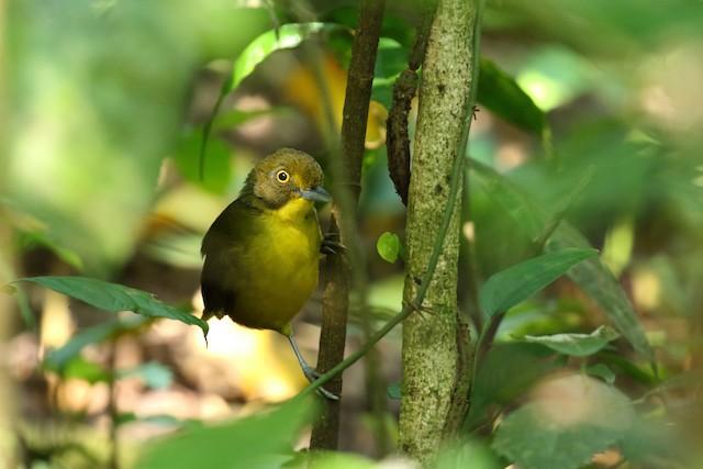 Lesser Bristlebill (Yellow-eyed)