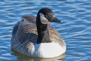 Canada Goose, ML199745961