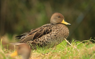 Yellow-billed Pintail (South American), ML199750001