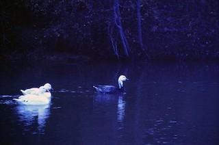 Snow Goose, ML199803481