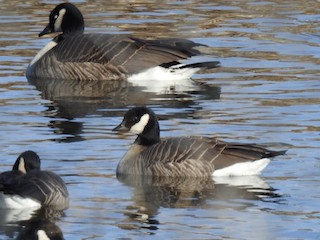 Cackling Goose (Richardson's), ML199969771
