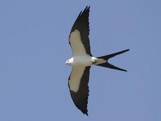 - Swallow-tailed Kite