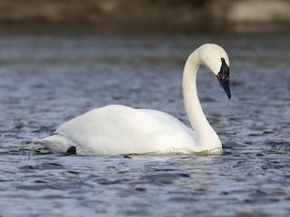 - Trumpeter Swan