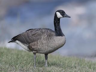 - Canada Goose