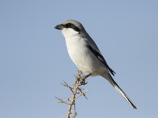 - Great Gray Shrike