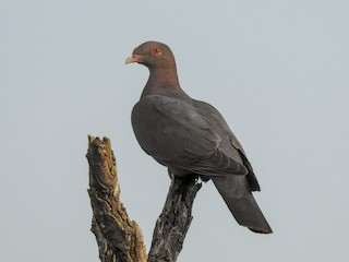 - Red-billed Pigeon