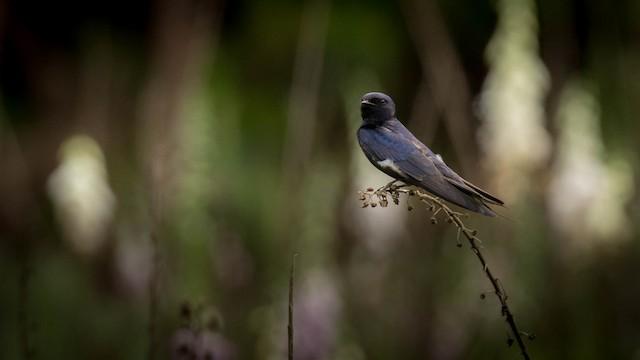 Montane Blue Swallow