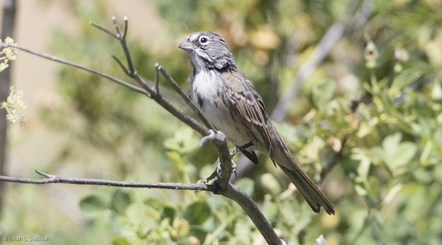 Bell's Sparrow (belli)