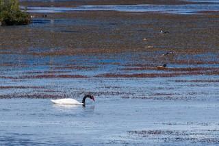 Black-necked Swan, ML200597801
