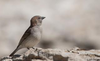 - Sahel Bush Sparrow
