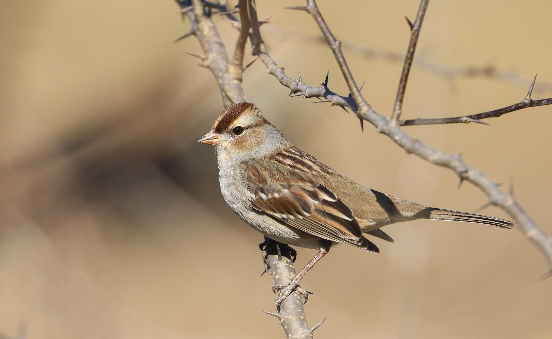 White-crowned Sparrow (Dark-lored) - Drew Chaney