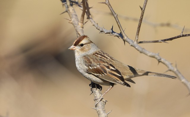 White-crowned Sparrow (Dark-lored)