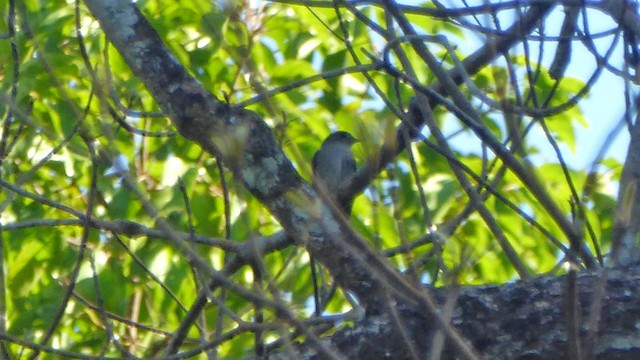 Ashy-breasted Flycatcher