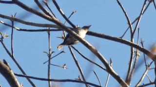 - Ashy-breasted Flycatcher