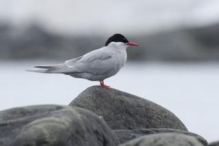 Antarctic Tern (Antarctic), ML20073461