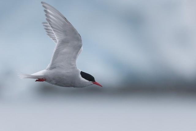 Antarctic Tern (Antarctic)