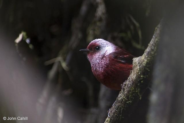 Pink-headed Warbler