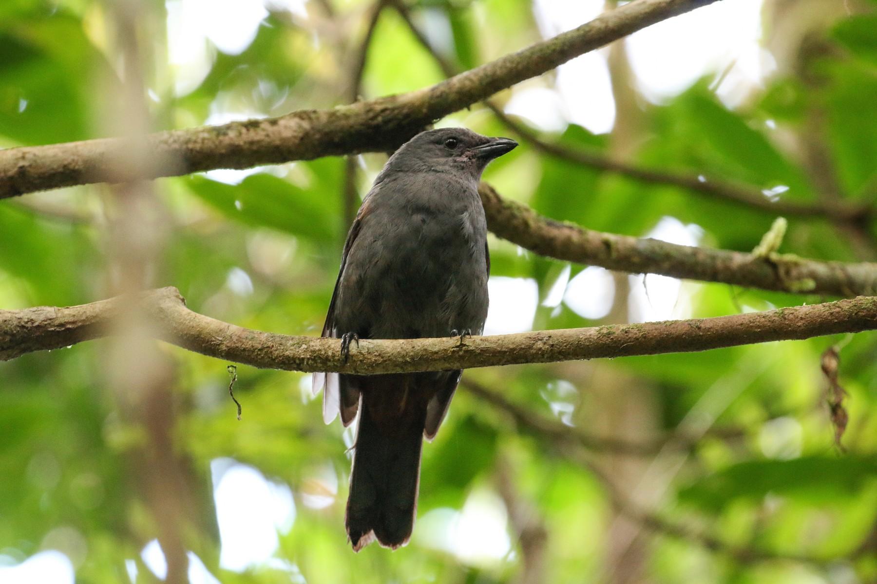 New Caledonian Cuckooshrike - Tommy Pedersen