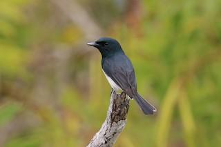 - Melanesian Flycatcher
